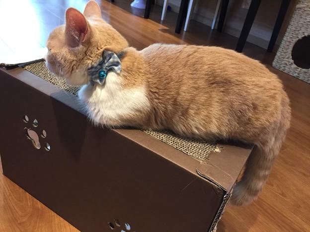猫カフェもふにゃん2017年秋・くぅちゃん3