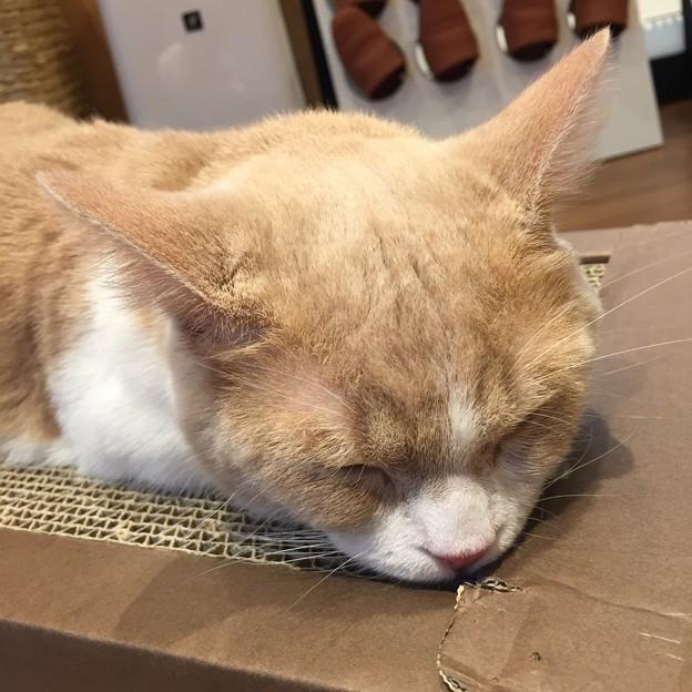 猫カフェもふにゃん2017年秋・くぅちゃん7