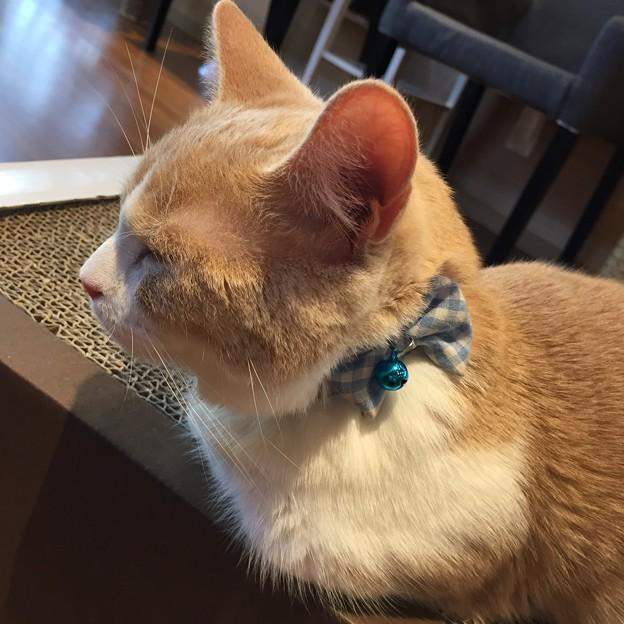 猫カフェもふにゃん2017年秋・くぅちゃん8