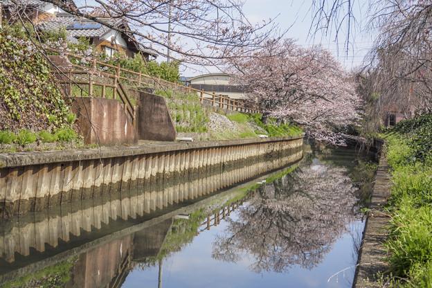 桜映り込む。