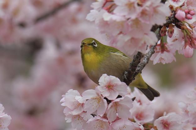 Photos: メジロ
