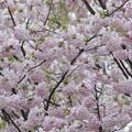 Photos: 遅咲き桜