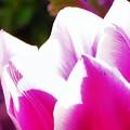 チューリップ紫