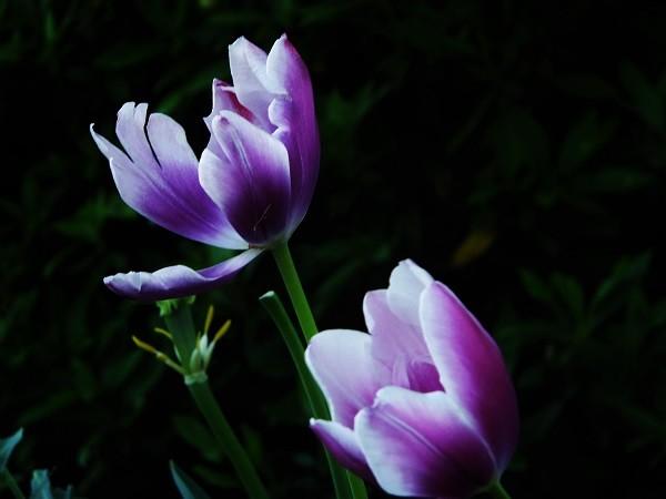 紫チューリップ