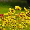 黄色お花畑