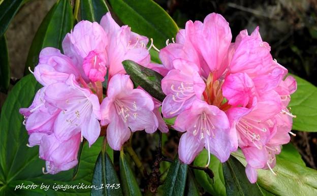 シャクナゲ(石楠花)