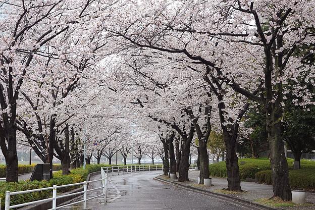 永代橋~中央大橋間の桜