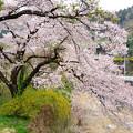 芦ヶ久保の桜