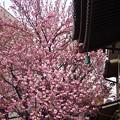 実相院の八重桜