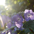 Photos: 夕日と紫陽花