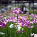 Photos: 小岩菖蒲園にて