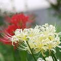 Photos: 鷺宮の彼岸花