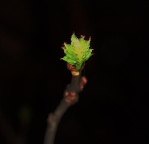 山椒の芽(2021年)