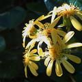 ツワブキの花(2021年10月)