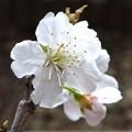桜、咲いちゃいました