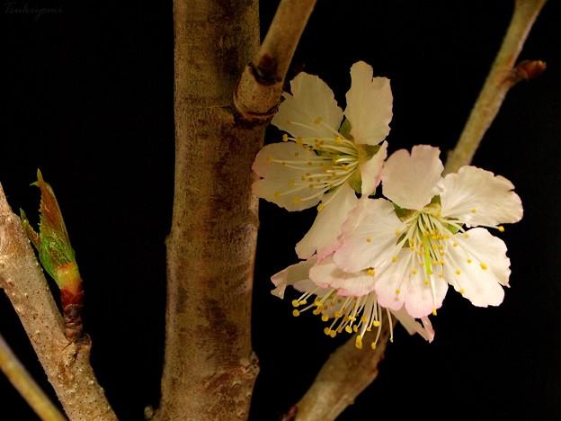 桜 おかわり