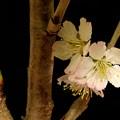 Photos: 桜 おかわり