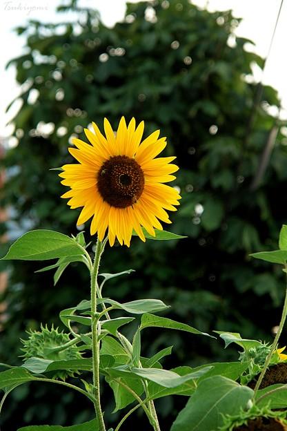 アツい向日葵