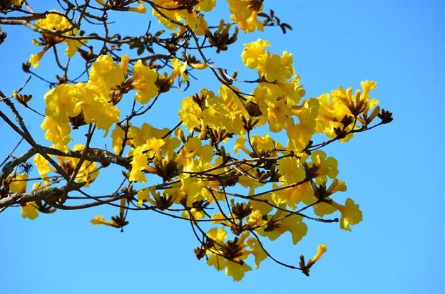 Golden Trumpet Tree IV 2-20-21