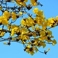 Golden Trumpet Tree IV 2-20-21