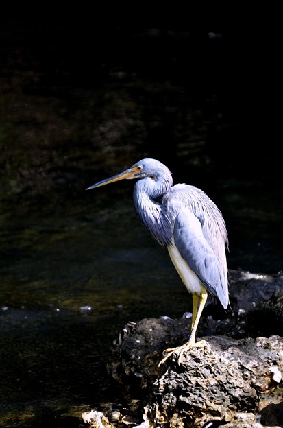 Tri-Colored Heron 2-10-21
