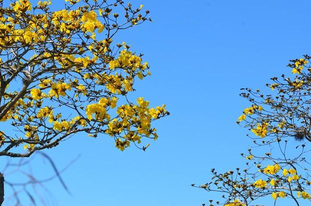 Golden Trumpet Trees V 2-20-21