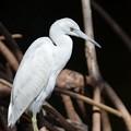 Little Blue Heron No3 II 2-10-21