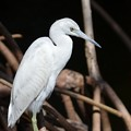 Little Blue Heron No3 II 2-10-21