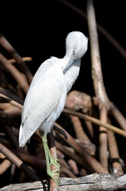 Little Blue Heron No3 III 2-10-21
