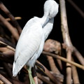 Little Blue Heron No3 III 2-10-21