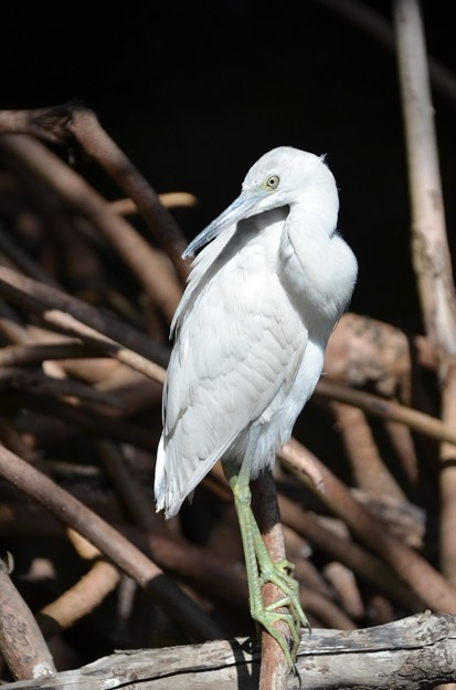 Little Blue Heron No3 IV 2-10-21