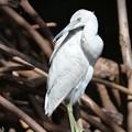 Photos: Little Blue Heron No3 IV 2-10-21
