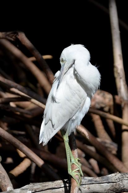 Little Blue Heron No3 V 2-10-21