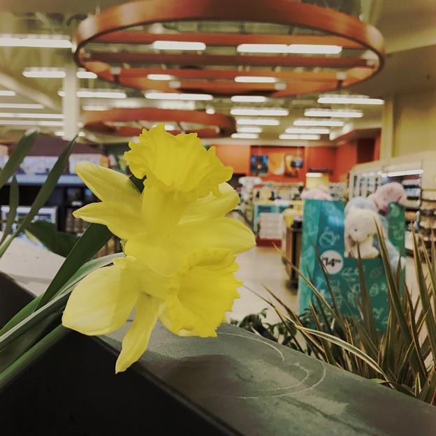 Yellow Daffodil 3-7-21