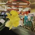 Photos: Yellow Daffodil 3-7-21