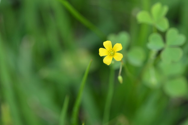 Creeping Woodsorrel 3-15-21