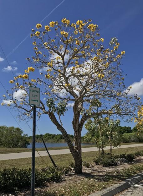 Silver Trumpet Tree VII 3-15-21