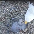 Eagle Cam 2021-1-26-1807