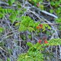 Tropical Sage 3-11-21