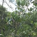 Red Mangrove 3-11-21