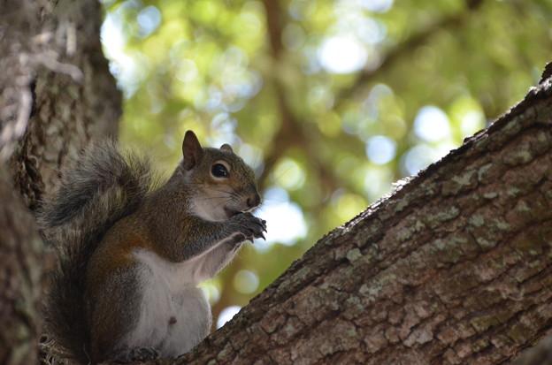 Eastern Grey Squirrel 3-26-21