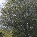 Photos: (参考)謎のTrumpet Tree 3-11-21