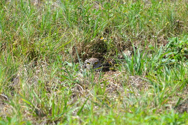 A Burrowing Owl of City Hall 4-15-21