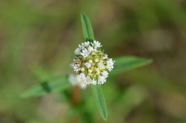 Shrubby False Buttonweed IV 3-31-21