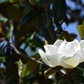 Southern Magnolia I 4-15-21