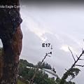 No3  Cam2 E18 Fledge to Old Cam2 Tree 4-21-2021 0853AM