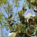 Southern Magnolia II 4-15-21