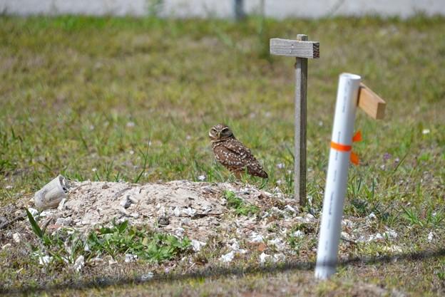A Burrowing Owl of Saratoga Park 4-15-21