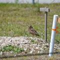 Photos: A Burrowing Owl of Saratoga Park 4-15-21