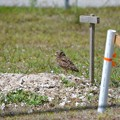 A Burrowing Owl of Saratoga Park 4-15-21